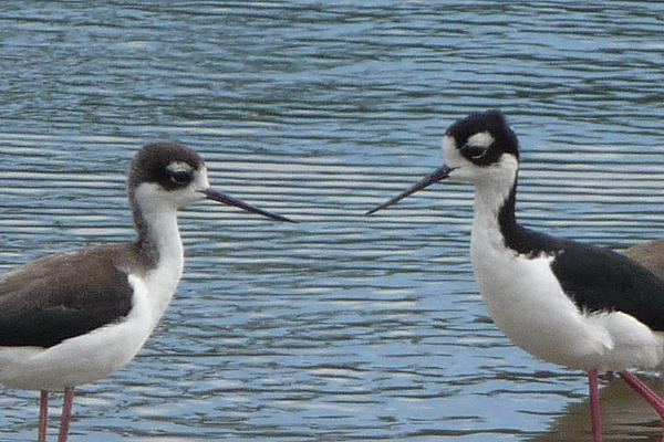BLACK-NECK STILTS.  Female on left - male on right.