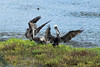 Colony of BROWN PELICANS work their wings at Famosa Slough.  Pelicans have between 30 and 35 secondary feathers.