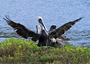 BROWN PELICAN ... wings spread to dry ...