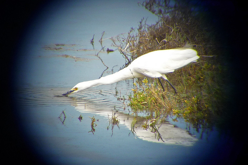 AFTER - This photo taken thru a fellow birders scope - this is called DIGISCOPING.  Note much greater detail than with a camera alone. GREAT EGRET ripple and reflection at Famosa Slough.