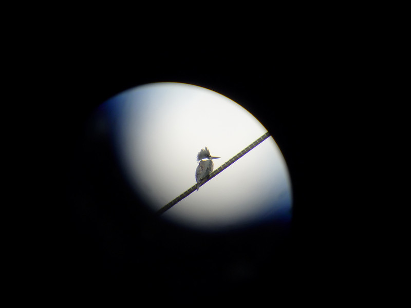 Belted Kingfisher thru scope.