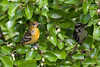 Baltimore Oriole (female) & Downy Woodpecker (male)