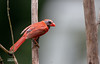 BALD NORTHERN CARDINAL