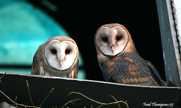 BARN OWLS IN SILO