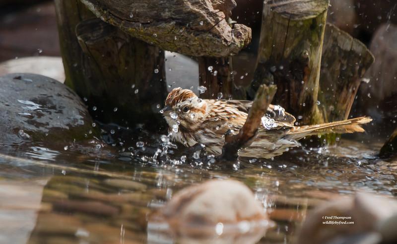 SPARROW BATHING