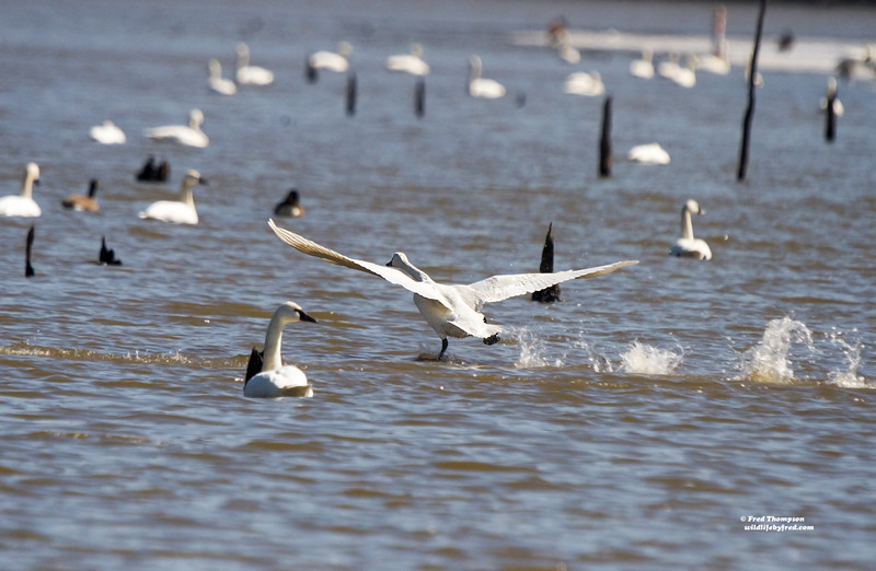 TUNDRA SWANS RUNNING ON WATER