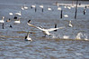 TUNDRA SWANS RUNNING ON WATER