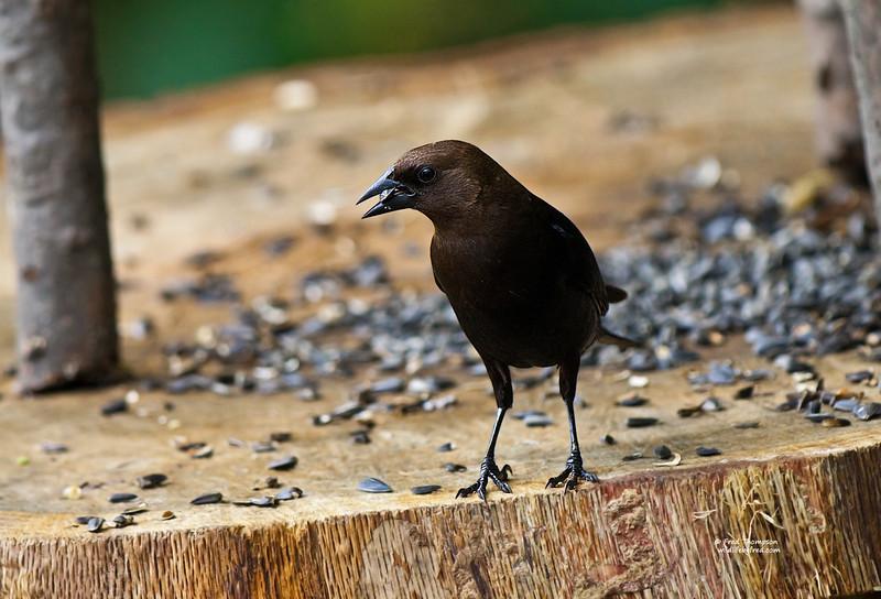 BROWN HEADED COWBIRD (MALE)