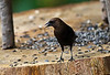 BROWN HEADED COWBIRD (MALE)