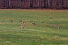 HERD OF DEER (HAPPY TO HAVE SOME GRASS TO EAT AFTER THE ROUGH WINTER)