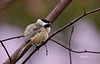 BLACK CAPPED CHICKADEE IN FIGHTING MODE