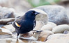 RED WINGED BLACKBIRD GETTING A DRINK