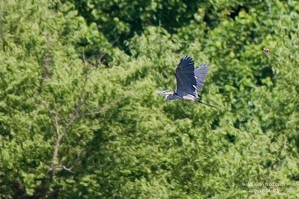If you look closely at this photo you will see a Baltimore Oriole chasing this heron. The oriole is in the upper right side of the photo.