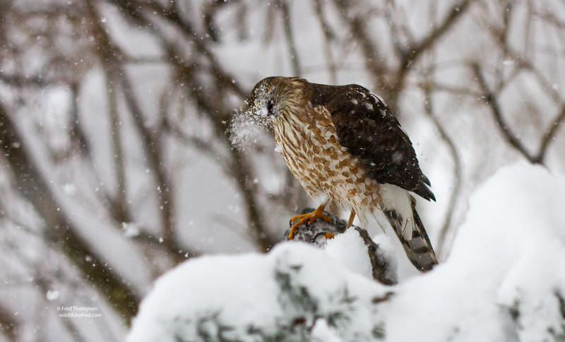 COOPERS HAWK   IN MY YARD DURING BLIZZARD OF 2016 W/SNOW FALLING ON IT FROM OVERHEAD BRANCH