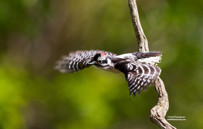 DOWNY WOODPECKER IN FLIGHT