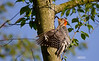 RED BELLY WOODPECKER (FEMALE)