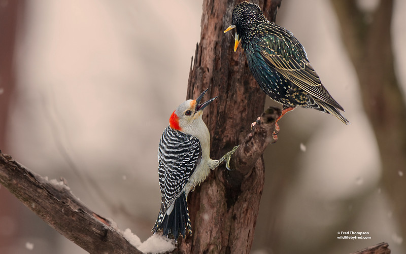 RED BELLY WOODPECKER (FEMALE) & STARLING