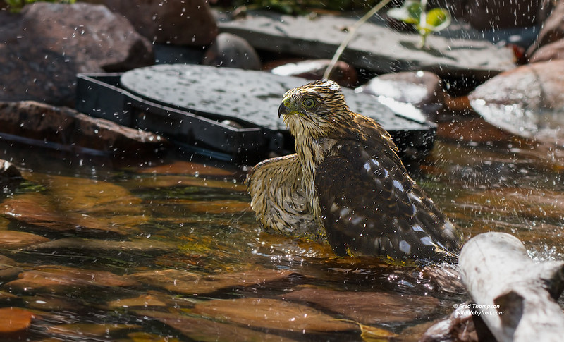 COOPERS HAWK TAKING A BATH