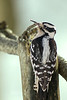 HAIRY WOODPECKER WITH A DEFORMED BILL