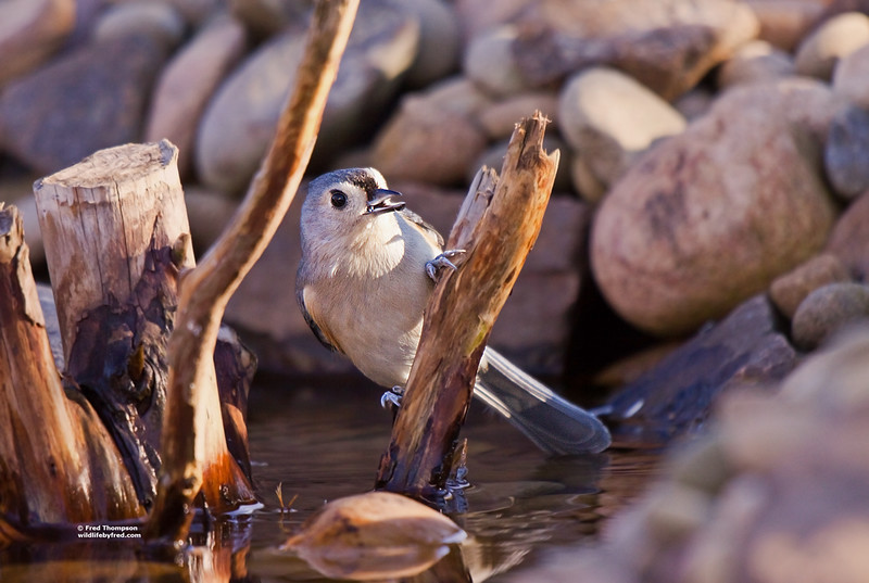 TUFTED TITMOUSE GETTING A DRINK