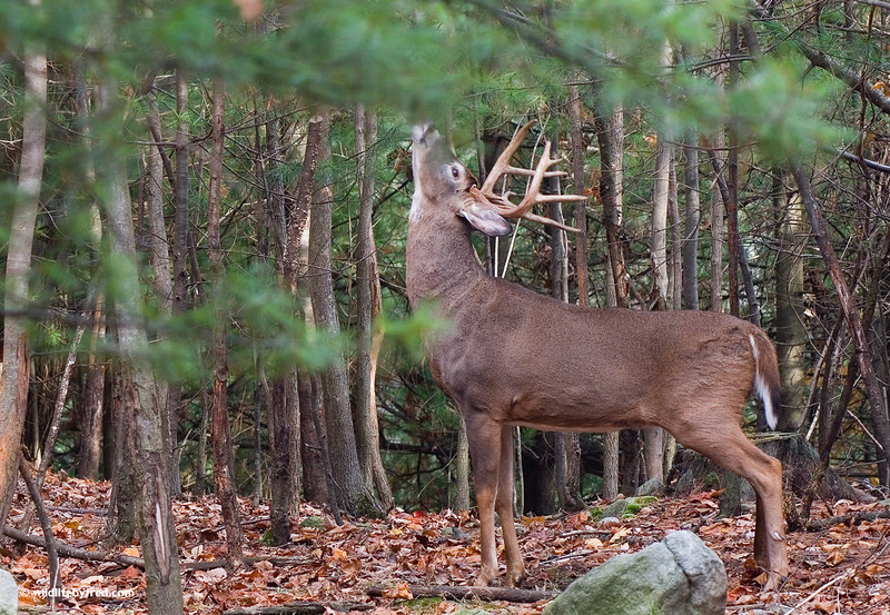WHITETAIL BUCK LEAVING HIS SCENT
