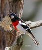 ROSE BREASTED GROSBEAK (MALE)