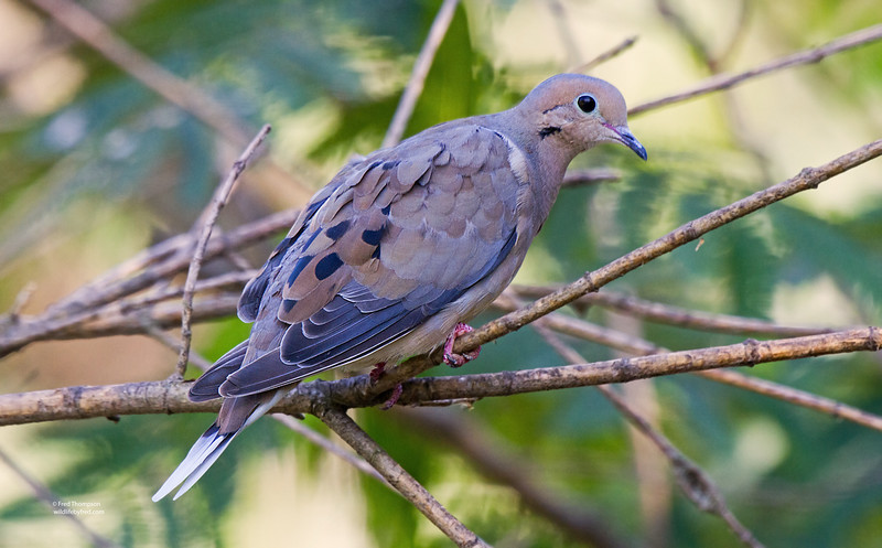 DOVE WITH A WHITE TAIL ???