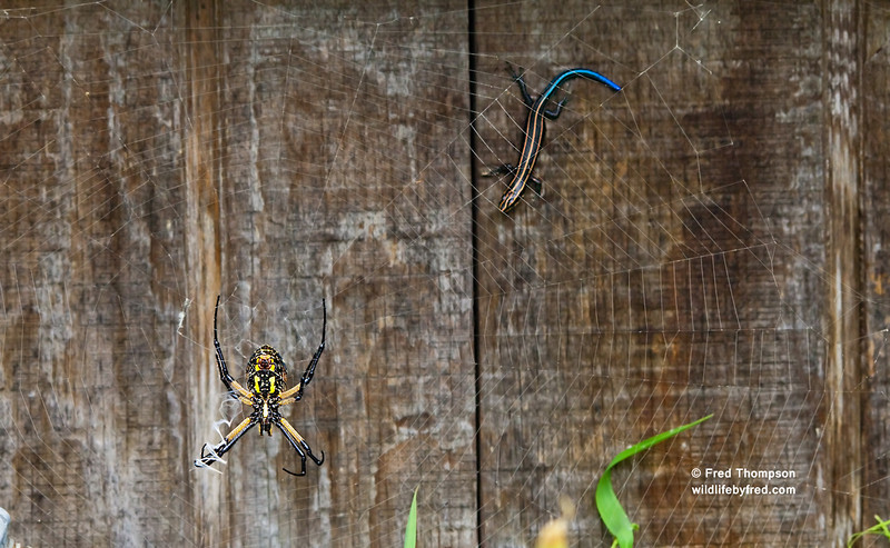 SPIDER AND SKINK