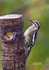 YELLOW BELLY SAPSUCKER--JUVENILE