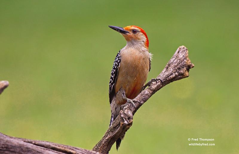 Red Bellied Woodpecker--Male