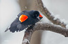 RED WINGED BLACKBIRD