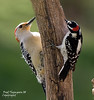 RED BELLIED WOODPECKER & DOWNY WOODPECKER