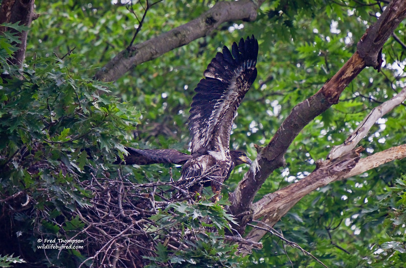JUVENILE BALD EAGLE--AFTER WATCHING THIS NEST FOR QUITE A WHILE AND JUST SEEING THE HEADS AND UPPER BODY THIS YOUNG EAGLE DECIDED TO STRETCH ITS WINGS