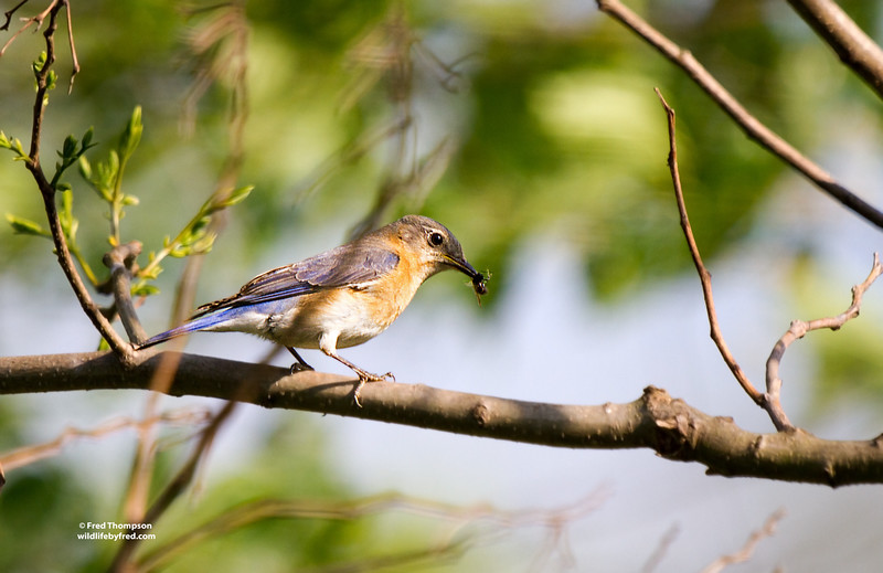 EASTERN BLUEBIRD (FEMALE) W/ A BEE