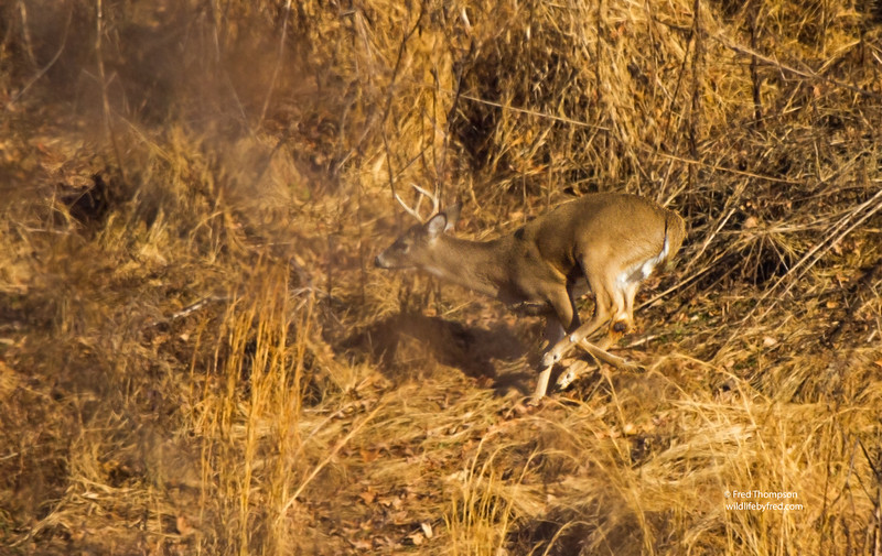 WHITETAIL DEER --BUCK CHASING A DOE