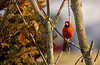 NORTHERN CARDINALS (MALE & FEMALE)