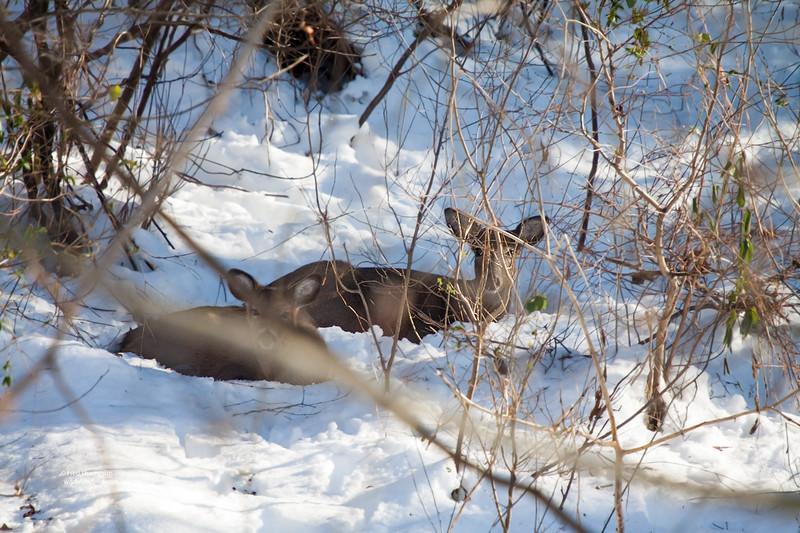 DEER BEDDED IN THE SNOW