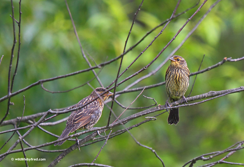 RED WING BLACKBIRDS EITHER JUVENILE OR FEMALE