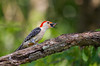 MALE RED BELLY WOODPECKER EATING A MULBERRY