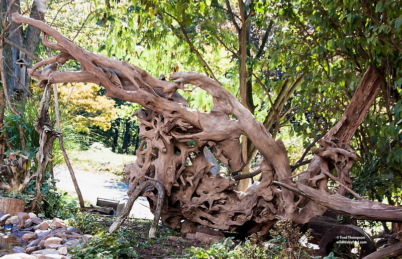 DRIFTWOOD==THIS PIECE IS 10 FEET LONG, 6 FEET HIGH AND 6 FEET DEEP AND IT TOOK A BACKHOE TO GET IT IN TO MY YARD