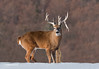 WHITETAIL BUCK WITH LARGE DROP TINE