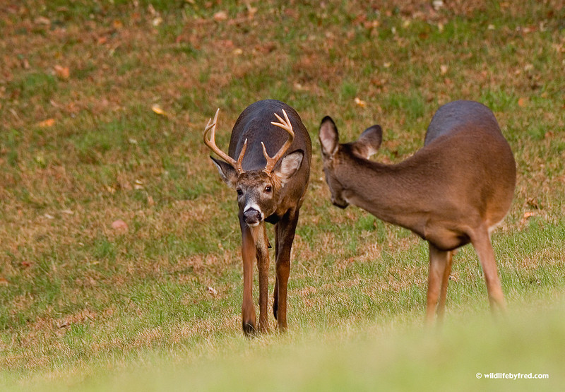WHITETAIL BUCK CHECKING OUT A DOE