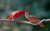 JUVENILE NORTHERN CARDINAL BEING FED BY A MALE NORTHERN CARDINAL