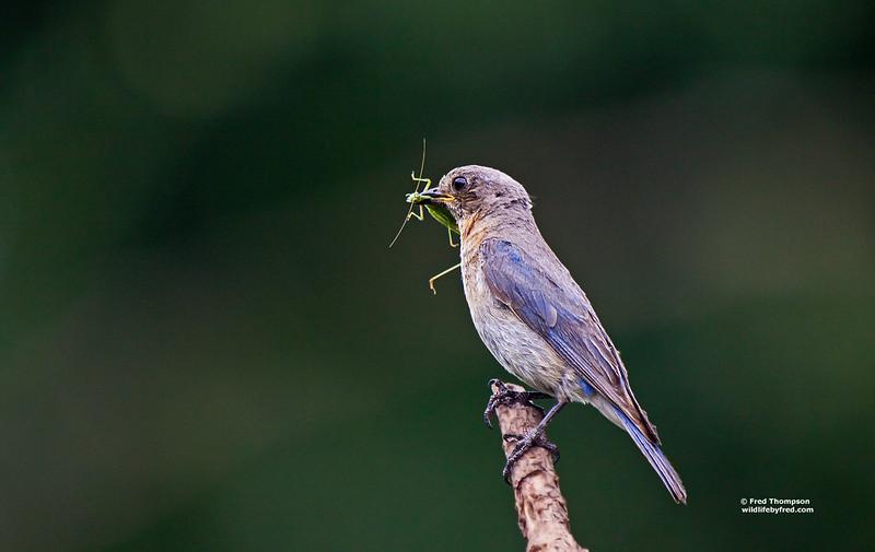 EASTERN BLUEBIRD W/GRASSHOPPER (FEMALE)