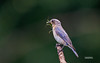 EASTERN BLUEBIRD W/GRASSHOPPER (FEMALE)