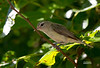 RED EYED VIREO (JUVENILE)