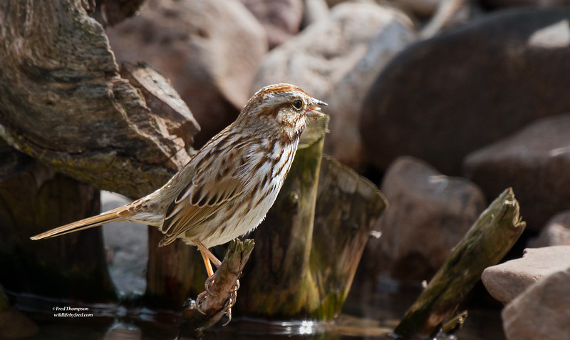 SPARROW SINGING AFTER ITS BATH