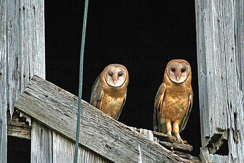 BARN OWLS (IN THE BARN)