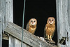 BARN OWLS (IN THE BARN)