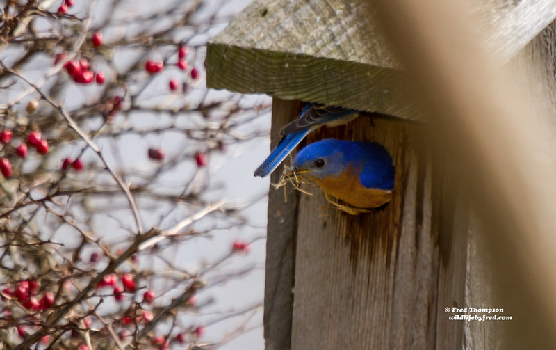 EASTERN BLUEBIRDS--1 GOING IN AND 1 COMING OUT